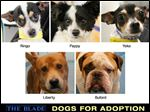 Lucas County Dogs for Adoption.