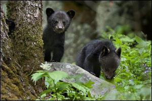 Black bear cubs wait for their mother while foraging for food near the Sugarland's Visitor Center in the Great Smoky Mountains National Park. 'Learn to travel, and you'll travel to learn,' says author Keith Bellows.