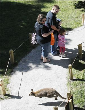 A wallaby jumps across the foot path during Friday's opening of the Wild Walkabout at the Toledo Zoo.