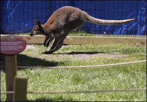 A wallaby hops around its habitat at the Toledo Zoo's Wallaby Walkthru in Toledo, Ohio.