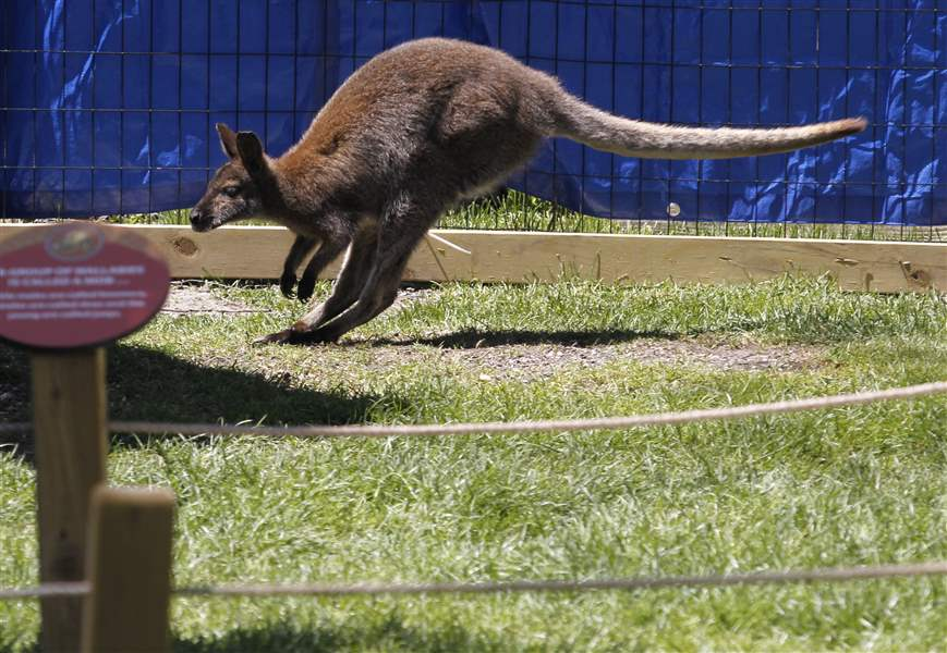 wallaby-walkabout