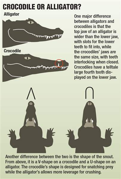 Infographic-on-the-difference-between-crocodiles-and-alligators