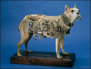 After Stubby died in 1926, his skin was placed over a plaster cast. The statue was on display as a loan at the Red Cross Museum for many years. It is now on exhibit at the National Museum of American History in Washington.
