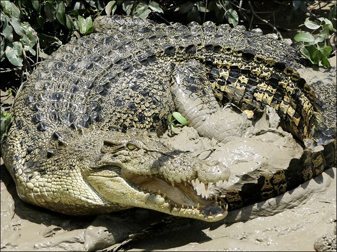 Animal List SALTWATER CROC A saltwater crocodile on the bank of the Adelaide river in Australia.
