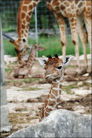 Officials with the Natural Bridge Wildlife Ranch say twin giraffes have been born, marking just the second time such a birth has occurred in the United States. Female calf Wasswa was born first May 10 followed by brother Nakato.