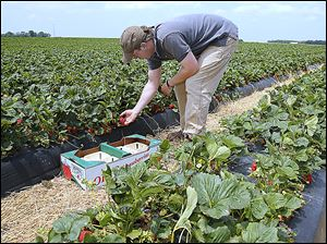 Steve Polter, owner of  Polter's Berry Farm near Fremont, picks strawberries for sale for this weekend.