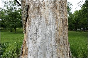 An ash tree is scarred from emerald ash borers on the property of Bob Getz.