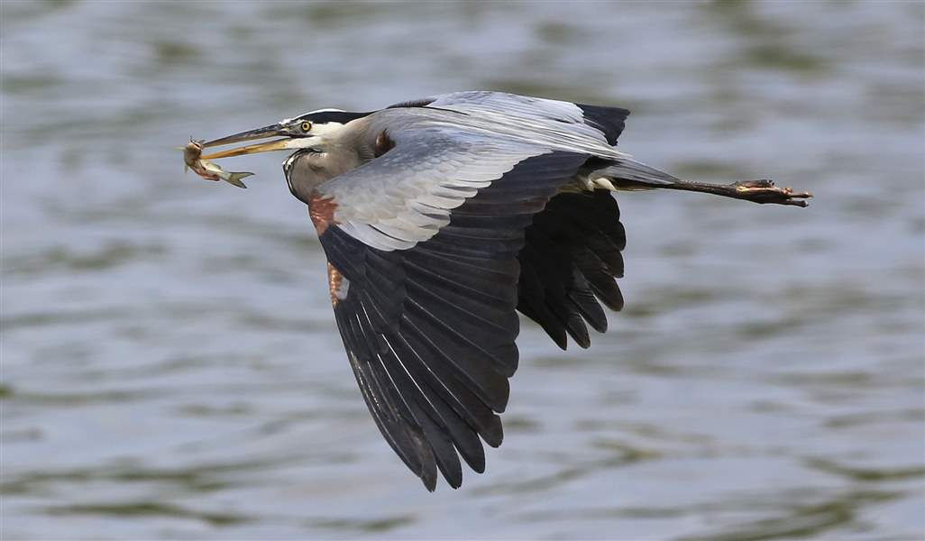 A-great-blue-heron-catches-a-small-catfish-on-the-Maumee-River
