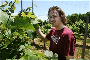 Dustin Heineman, a fifth-generation wine maker, checks out grapes in one of the vineyards at Heineman's Winery at Put-In-Bay.