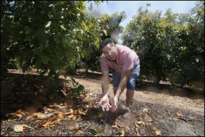 Farmer David Schwabauer, a partner/manager of Leavens Ranches, fourth-generation avocado and lemon grower checks an irrigation sprinkler in Moorpark, Calif. The Schwabauer family has been considering allowing energy companies to drill new exploratory wells in their orchards in Moorpark, but the trees in Moorpark rely on irrigation supplies drawn from a depleted aquifer, and the county is already in drought. Drilling for oil, especially using hydraulic fracturing techniques, requires a lot of water as well, so the family has been divided on whether to go ahead with the offer.