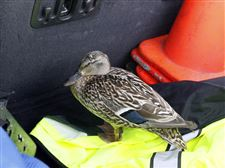 An-injured-mother-duck-is-held-in-a-truck-b
