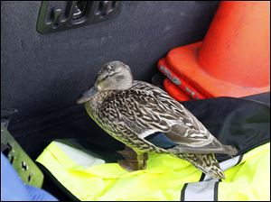 An injured mother duck is held in a truck before help could arrive after being stranded o  I-475.