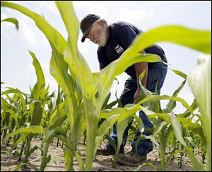 Dan Liskai inspects his crop on his farm in Woodville, Ohio.  The farmer said that the promised high temperatures during the weekend would help perk up his corn crop, which usually gets some heat this time of year.