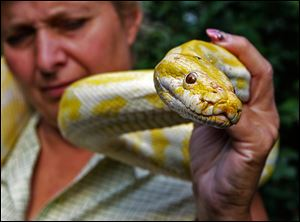 An albino Burmese python similar to this one has gone missing from the home of its South Toledo owner. The 18-month-old snake was last seen on June 16.
