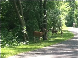Deer along the trail along the Maumee River in Perrysburg.