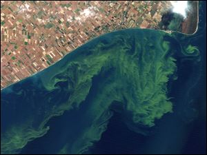 A satellite photo from a NASA website that shows algae blooms swirling on Lake Erie. A significant blue-green algae bloom