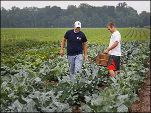 Jake Gust, left, and Jed Crots work together to harvest broccoli from the community supported agricultural section of the Gust Brother's farm just north of Sylvania in Michigan.