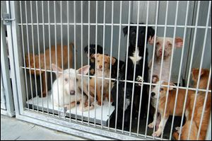 A group of dogs wait at the the San Bernardino County Animal Shelter. The animals were seized from a hoarder.