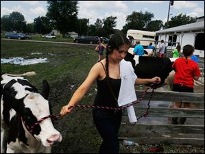 Thalia Salas, 15, of Holland, led her three month-old Holstein calf back into the barn after washing it. Salas is a member of the Kids in Christ's Kingdom, or KICKS, program.