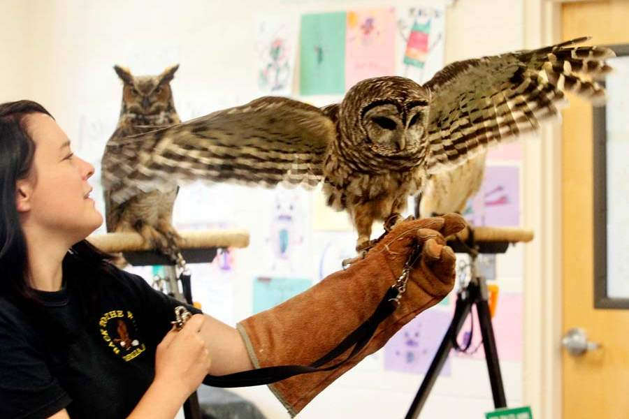 animal-camp-barred-owl-wings