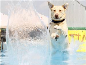 A yellow lab named Matie from Toledo hits the water after a long jump for her ball.