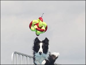 A  Border Collie named Karma, from Mars, Pa., reaches to grab her toy while making a long jump.