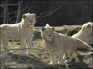 The Toledo Zoo's white lions are on loan from magicians Siegfried & Roy. Wisdom was born at the Cincinnati Zoo in 2001 and brought to the Toledo Zoo in 2003.