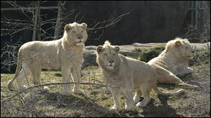 White lions from Sigfried and Roy at the Toledo Zoo in 2003.