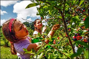 Grace Katherine James, 9, left, and Anna Baldwin, 8, look for ripe blueberries in the pick-your-own field in the Peach State, where blueberry sales have soared.