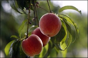 Peaches that are ready to be picked are are on the limbs of the trees at Erie Orchards in Erie, Michigan.