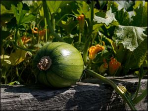 A pumpkin grows on its vine in one of the gardens.