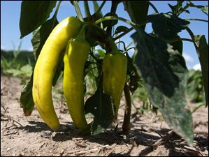 Banana Peppers are just some of the produce Trevin Haar sells.