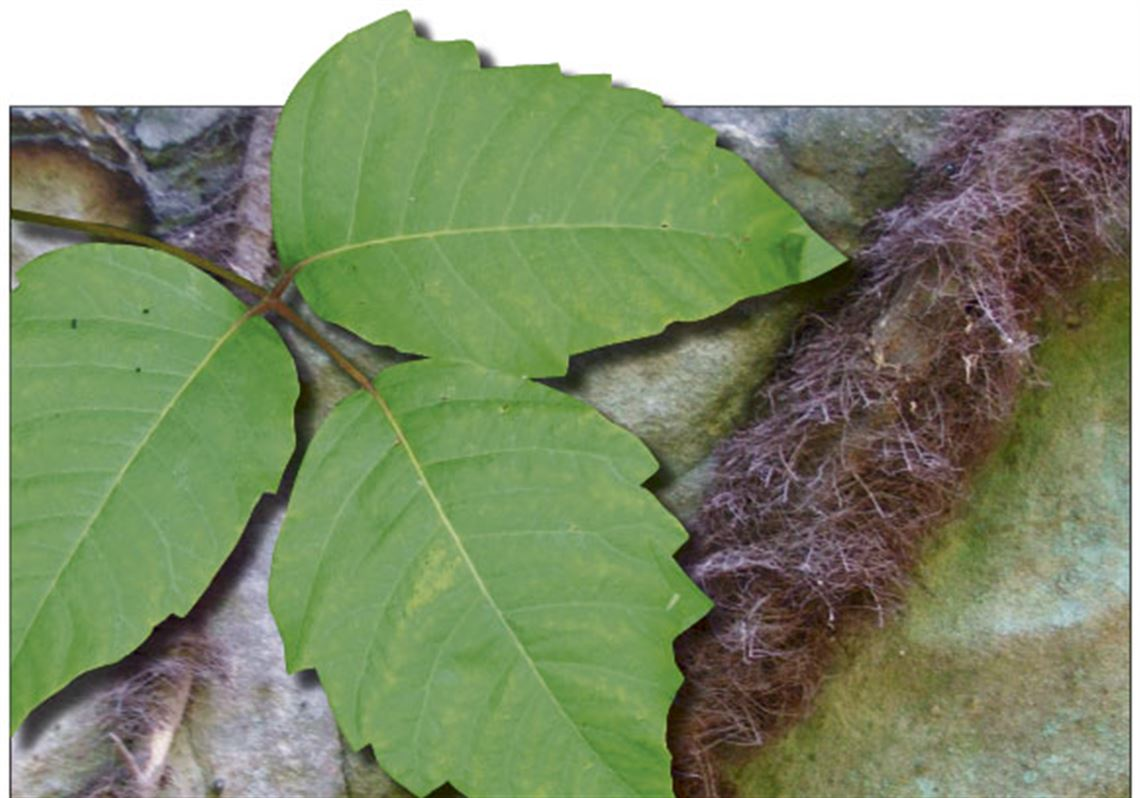 Climate Change Helps Strengthen Poison Ivy The Blade,Poison Ivy Leaf Drawing