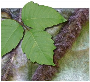 Climate change is making poison ivy grow faster, bigger, and meaner.