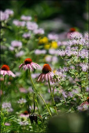 A purple coneflower, left, with wild bergamot.