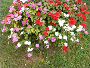 These impatiens are actually planted in a fire pit.