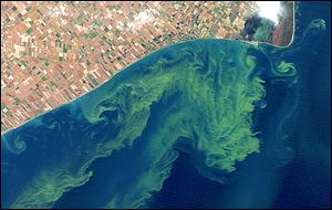 This Oct. 5, 2011, satellite photo from a NASA Web site shows algae blooms swirling on Lake Erie.  which was the largest bloom on record. This year's bloom  is predicted to be much smaller.