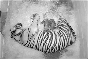 A pair of Sumatran tiger cubs born Aug. 5, with their 4-year-old mother Damai, at the Smithsonian's National Zoo in  Washington.