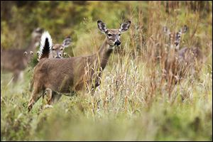 Over-browsing by a growing white-tail deer herd can ad­versely af­fect regional plant pop­u­la­tions.