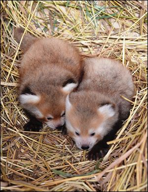 New red panda twins are seen at the Detroit Zoo in Royal Oak, Mich. The zoo said Tuesday the male twins were born June 27 to 8-year-old mother Ta-Shi and 4-year-old Shifu. The unnamed twins are on display in their habitat.