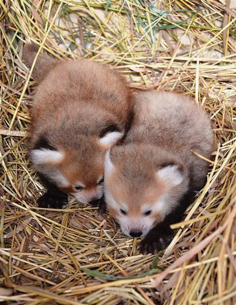 New-red-panda-twins-are-seen-at-the-Detroit-Z