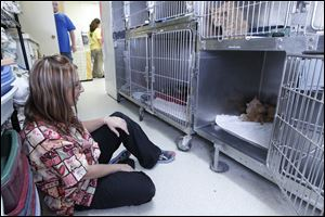 Medical manager Megan Hobbs watches one of the confiscated cats at the Humane Society in Fremont, Ohio. She determined the cat had been pregnant and reunited her with her 3 kittens.