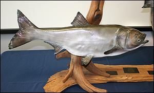 A Silver Asian Carp mount made by Mike Pusateri of Mike's Taxidermy in Port Clinton, Ohio.