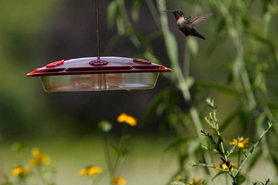 WebSylSECOR16p-hummingbird