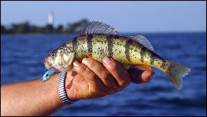 Scott Zody, chief of the Ohio DNR's Division of Wildlife, expects the reservoir will be stocked by September or October with 3 to 4-inch perch as the agency tries to build 'a high quality fishery.'