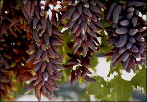 Witch Finger grapes were developed at International Fruit Genetics.