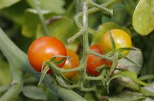 Tomatoes-growing-at-the-TMA