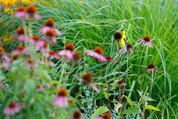 A-gold-finch-picks-at-a-purple-cone-flower-at-the-home-of-Beatrice-Miringu