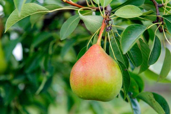 A-pear-in-the-garden-of-Beatrice-Miringu