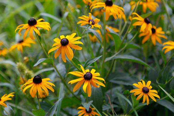 Black-eyed-susan-in-the-garden-of-Beatrice-Miringu